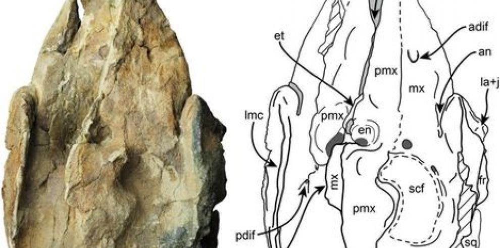 Fósil de cachalote hallado en Panamá arroja luz sobre su evolución