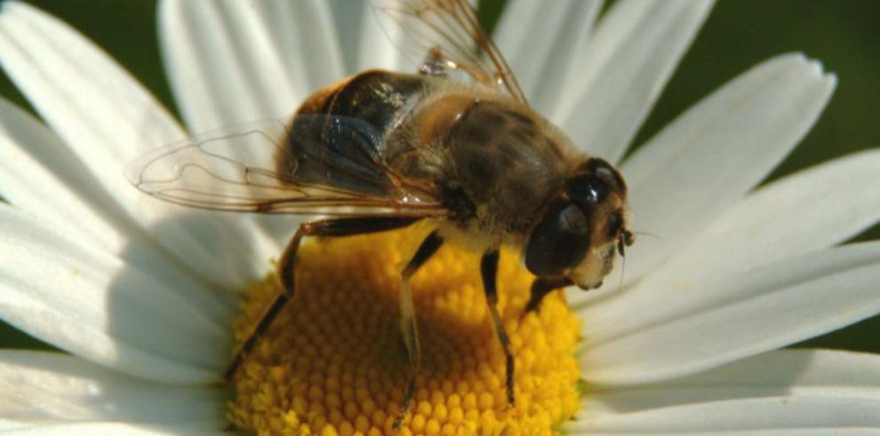 Las abejas ayudan a la medicina