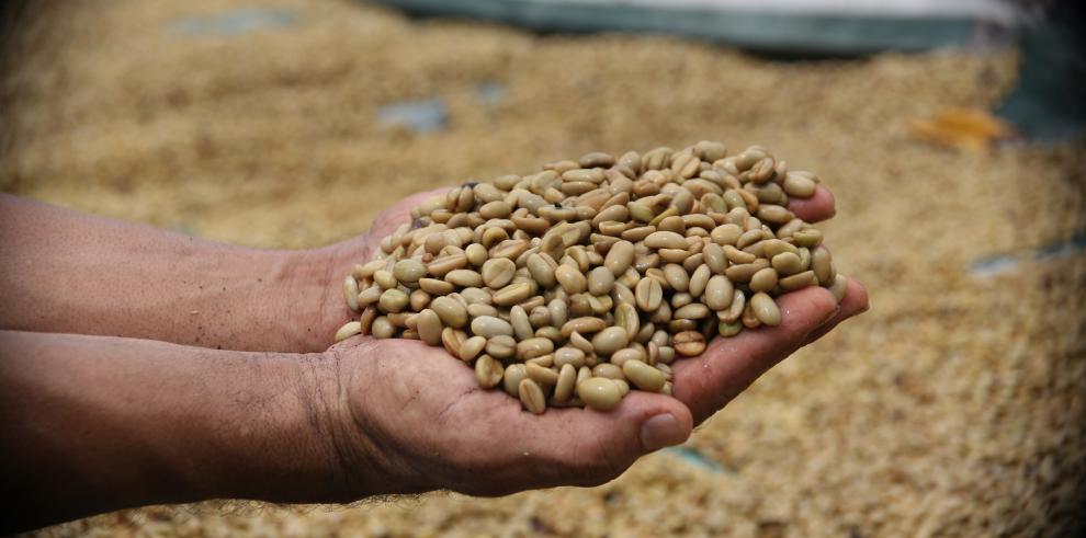 Jueces internacionales evalúan calidad del café panameño