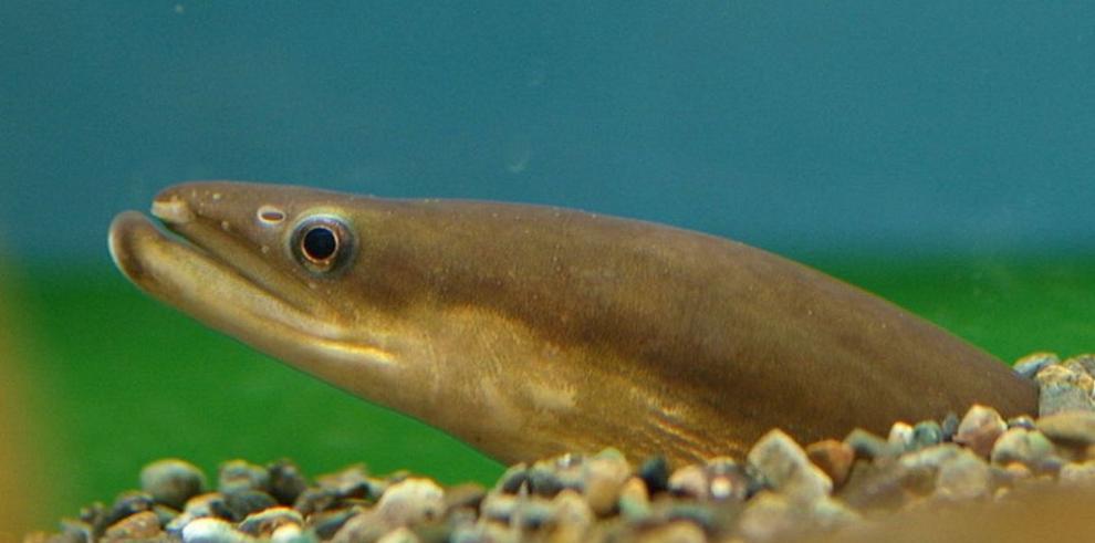 Japón planea limitar la cría de anguila por su peligro de extinsión