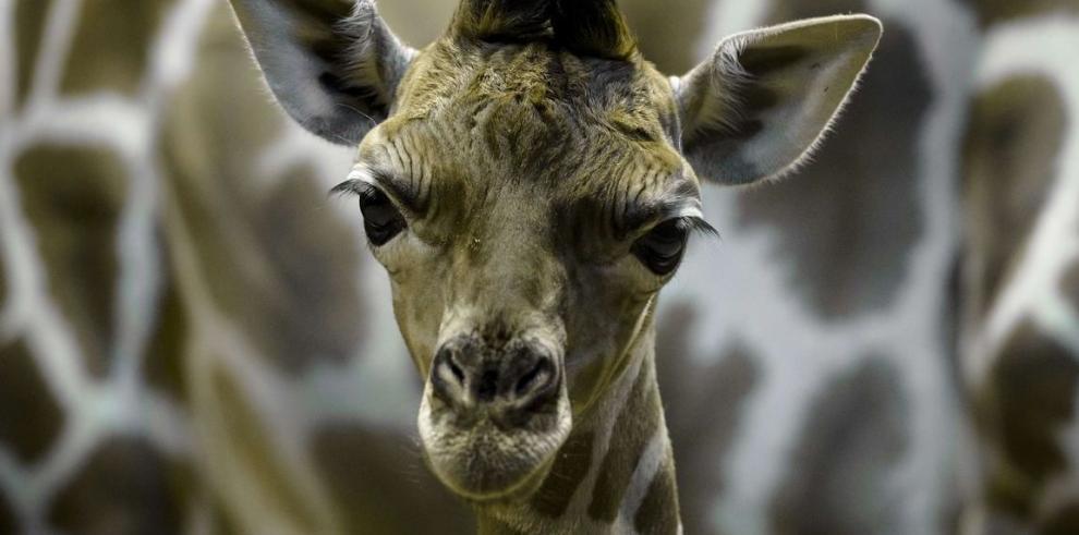 La población de jirafas se reduce a 80 mil