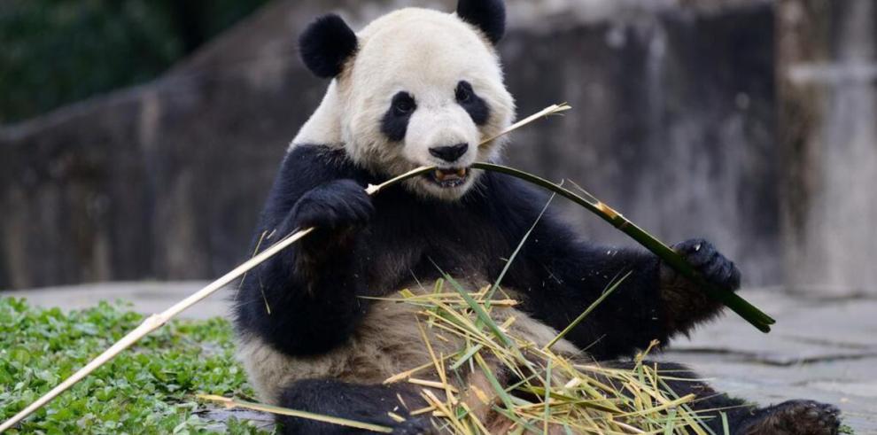 Pandas son transportados a Bélgica para reproducirse