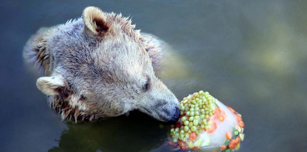 Un oso come a 40 grados centígrados