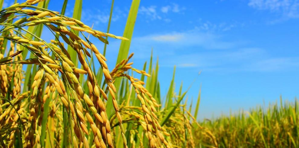 La producción de arroz en Panamá pierde rentabilidad