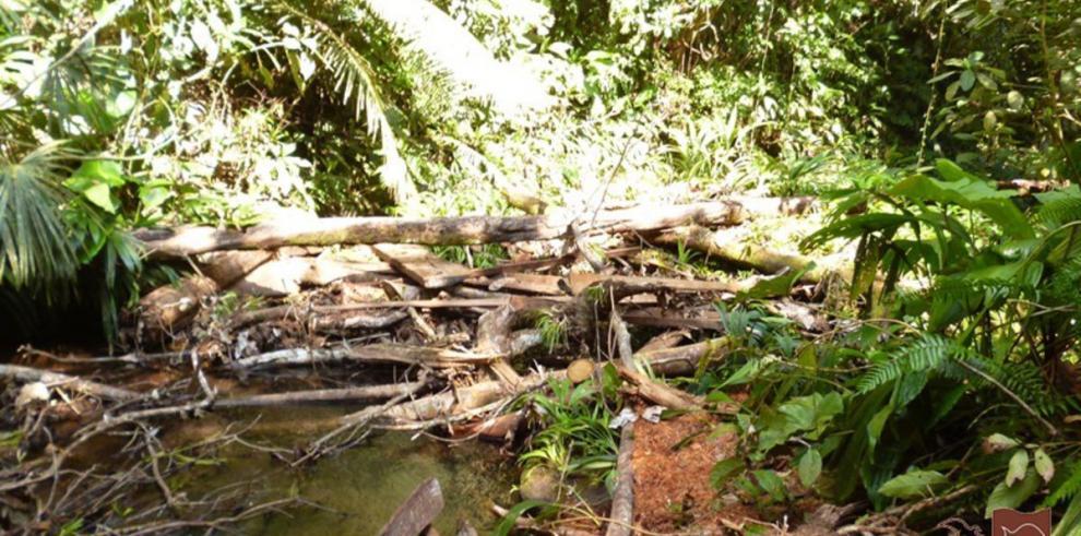 Detectan tala ilegal en quebrada de Colón
