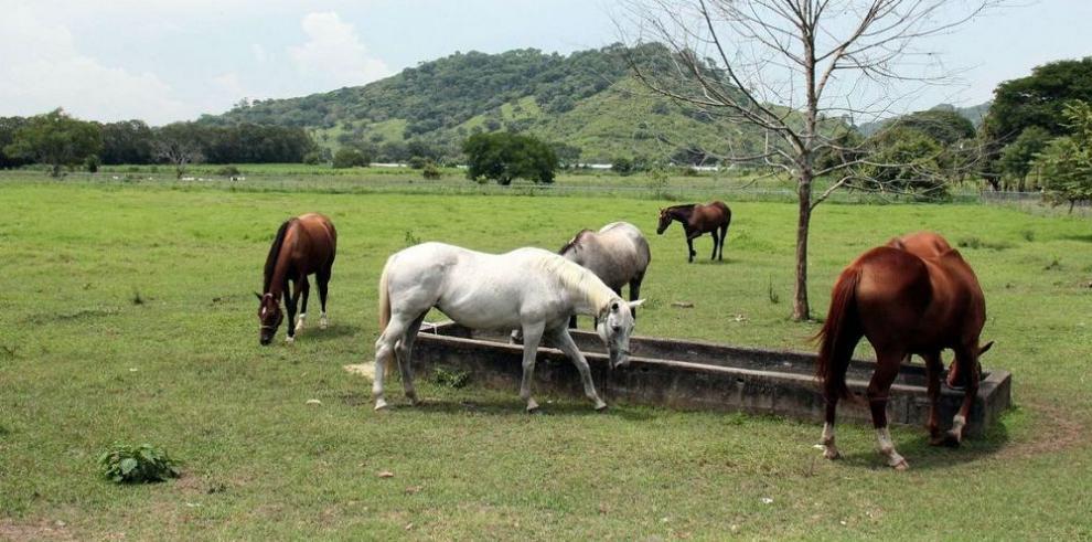 La evolución del purasangre en los criaderos panameños