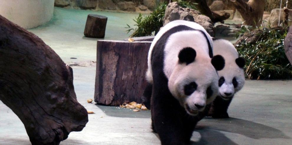 Gobierno central de China entregará dos osos panda a Macao