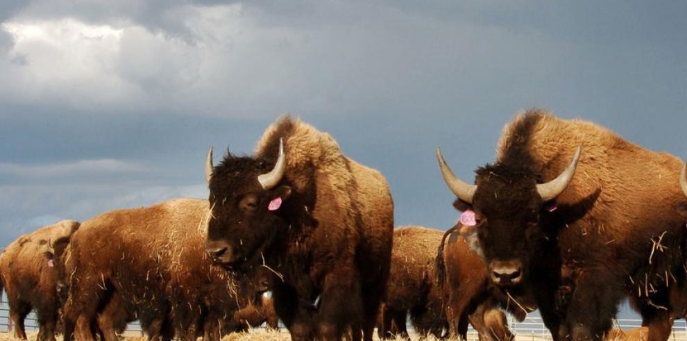 Buscan establecer manadas de bisontes