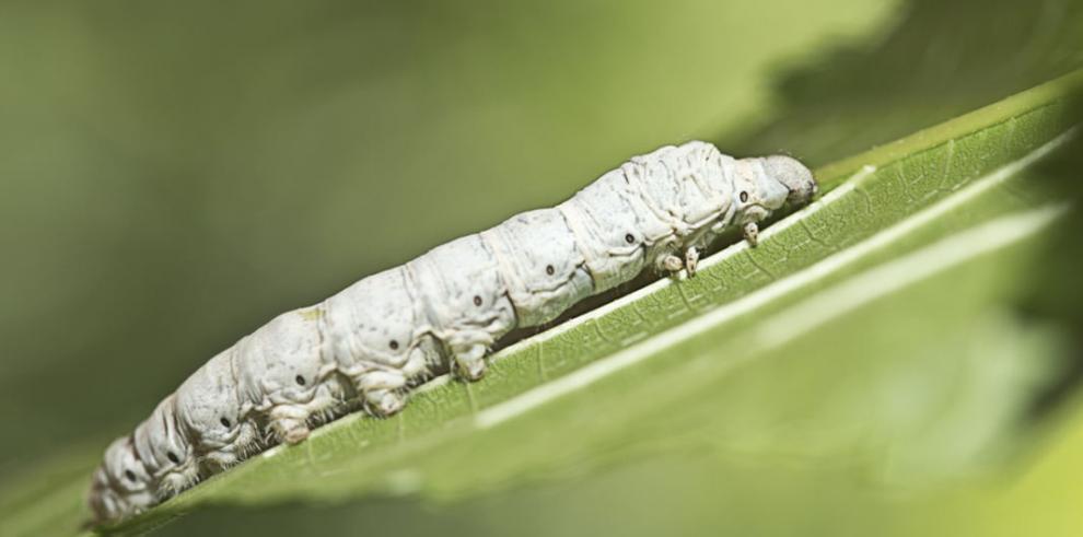 Aceite del gusano de seda podría retrasar el envejecimiento y el cáncer