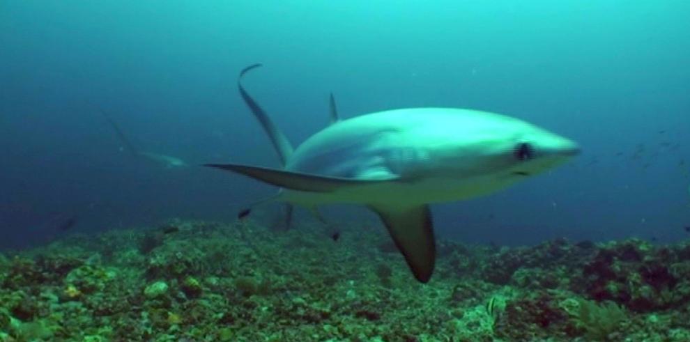 Poblaciones de tiburones zorro y martillo, en situación crítica por pesca