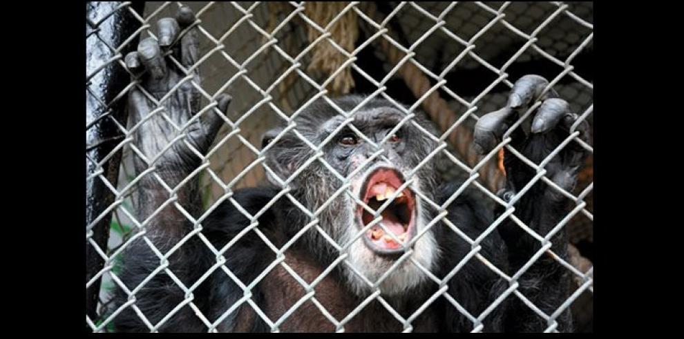 Le niegan libertad a Tommy, el chimpancé que vive enjaulado