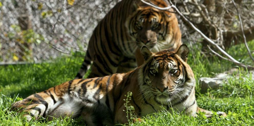 Una tigresa se come a sus dos cachorros en un zoo de Jerusalén