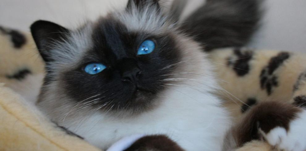 Razas de gatos más hermosas del mundo