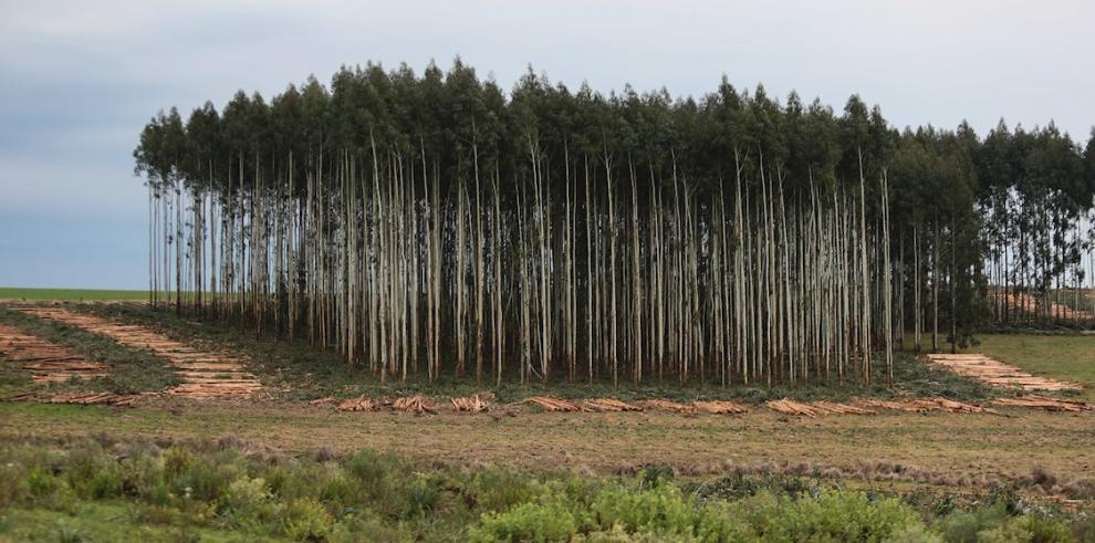 eucaliptos
