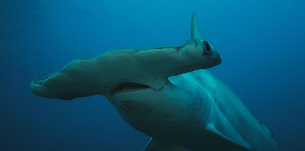 La pesca temprana acaba con tiburones