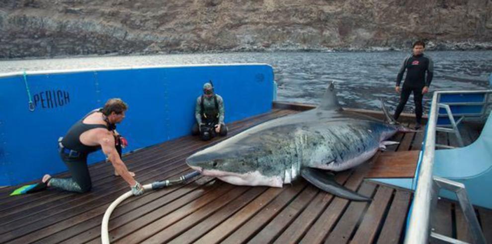 La historia de Lydia, el tiburón blanco que cruzó el Atlántico