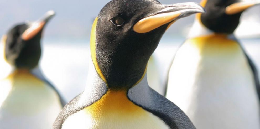 Cambio climático amenaza a los pingüinos de la Antártida