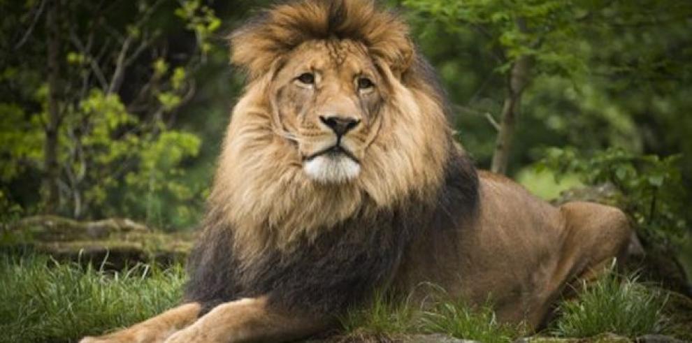 Hallan a dos leones abandonados