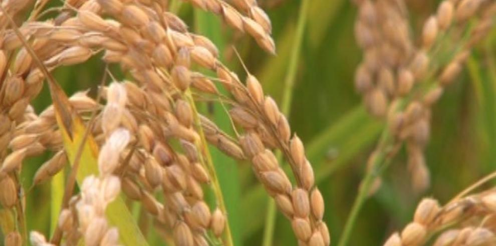 Productores de arroz preocupados por disminución de cosecha