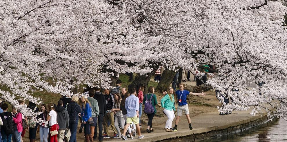 Cerezos de hermandad reciben la primavera en Estados Unidos
