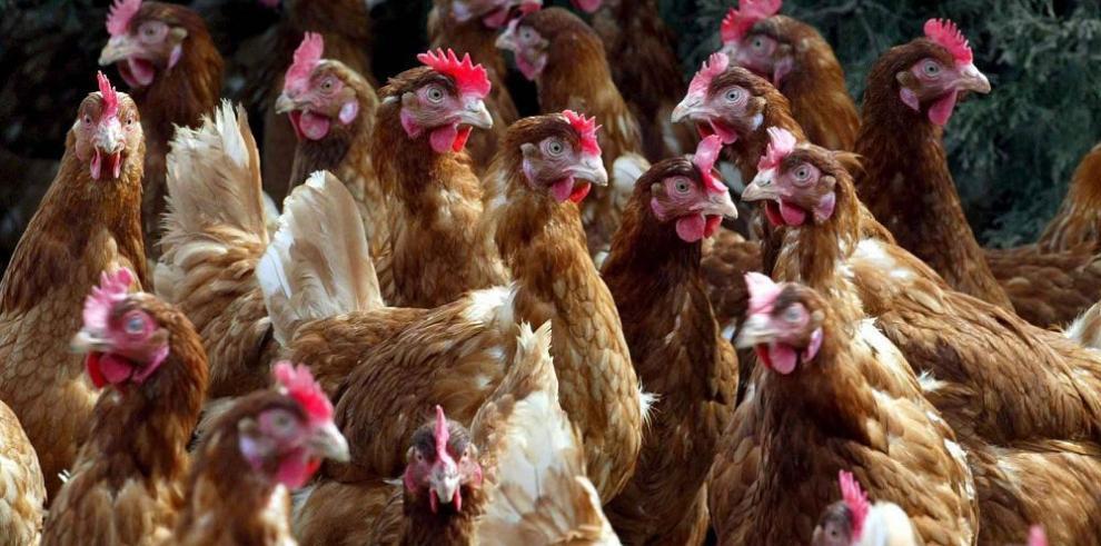Aprueban por segunda ocasión el impuesto al pollo