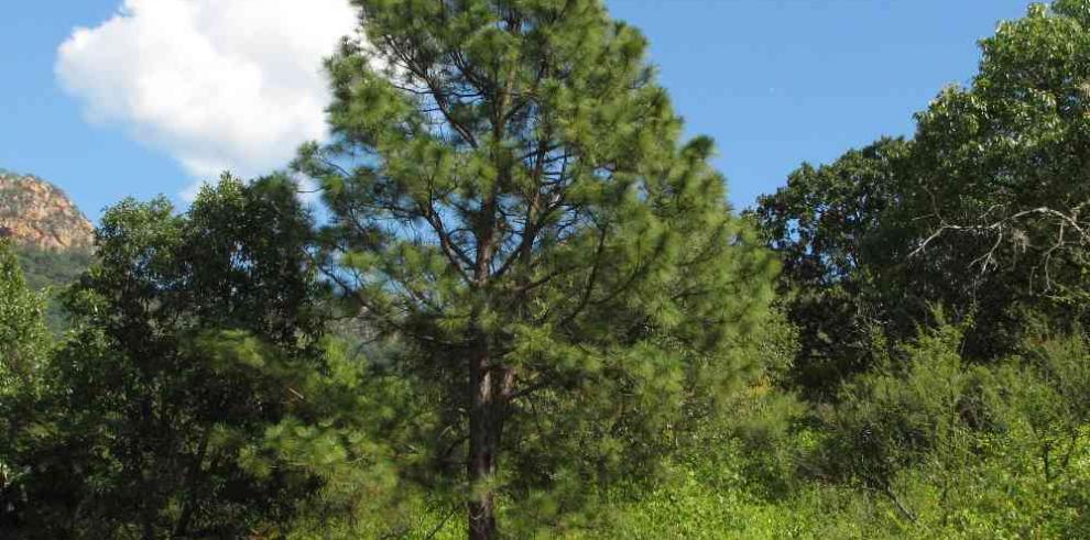 Nicaragua levanta por un año la veda de pino