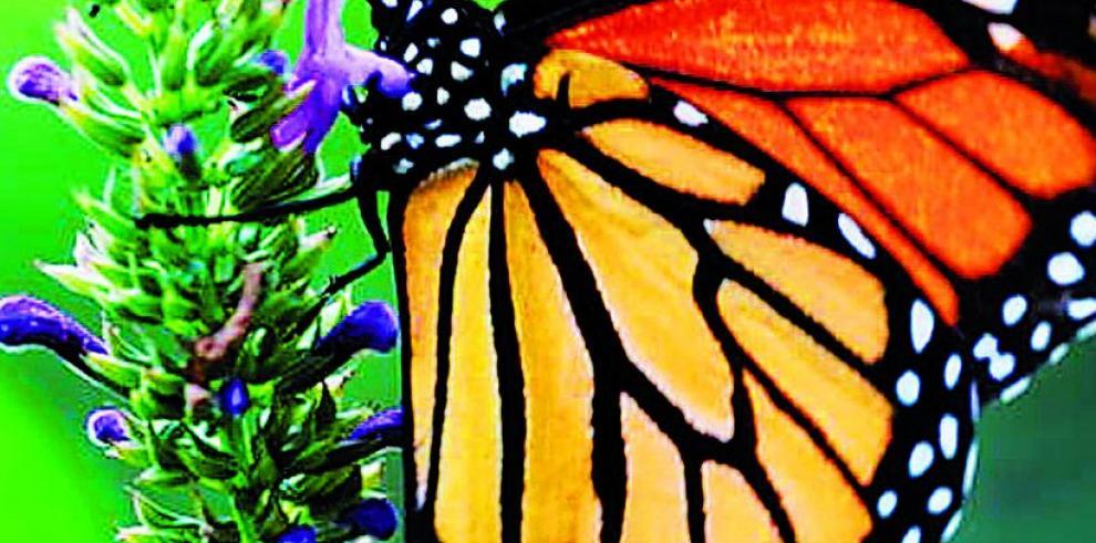Actividades humanas, amenaza para las mariposas monarca
