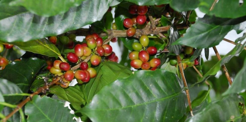 Productores de café logran pedidos en Japón por $400 mil