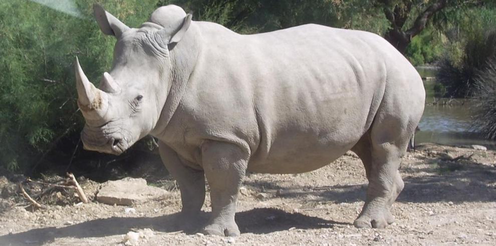 En el mundo quedan sólo 5 rinocerontes blancos del norte