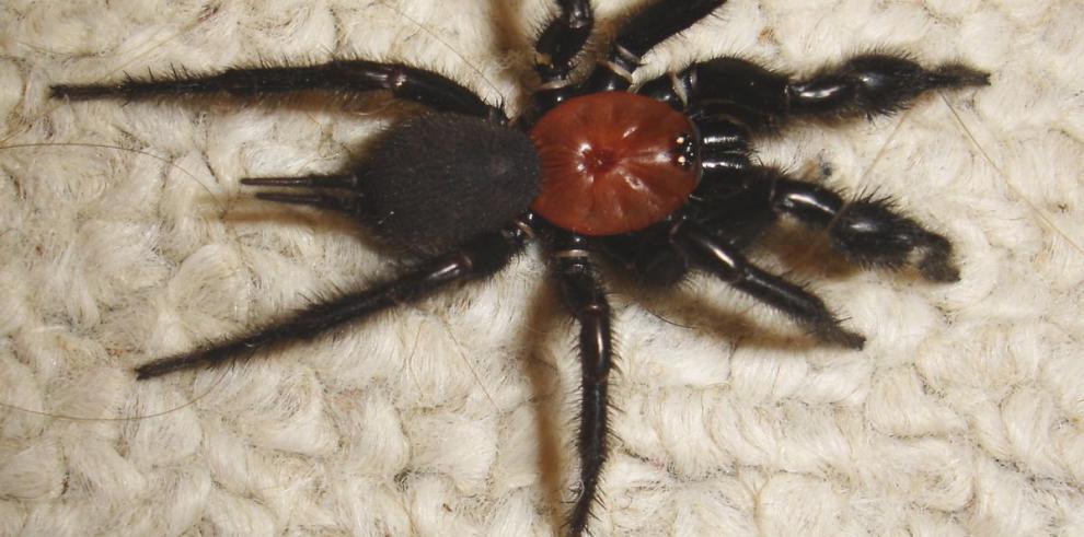 El veneno de las arañas podría salvar a las abejas