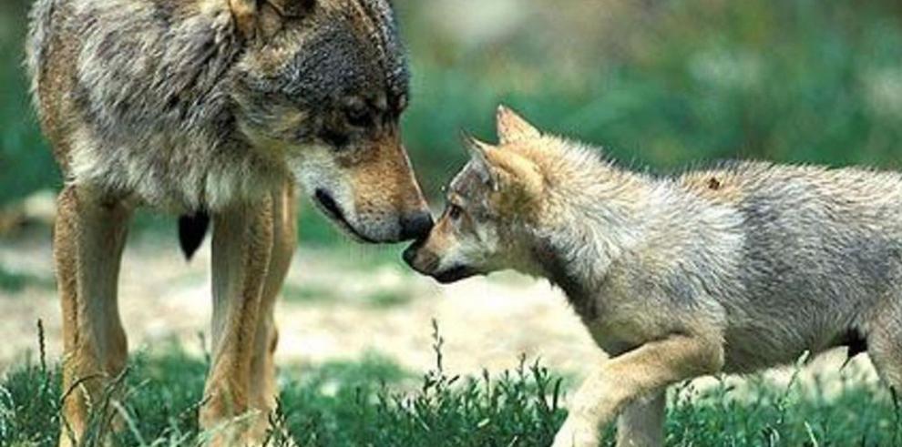 Grupos ecologistas se oponen a la caza de lobos en España