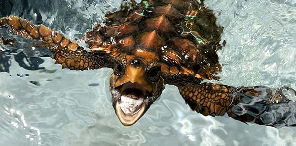 Las tortugas colonizaron el Mediterráneo antes de la última glaciación
