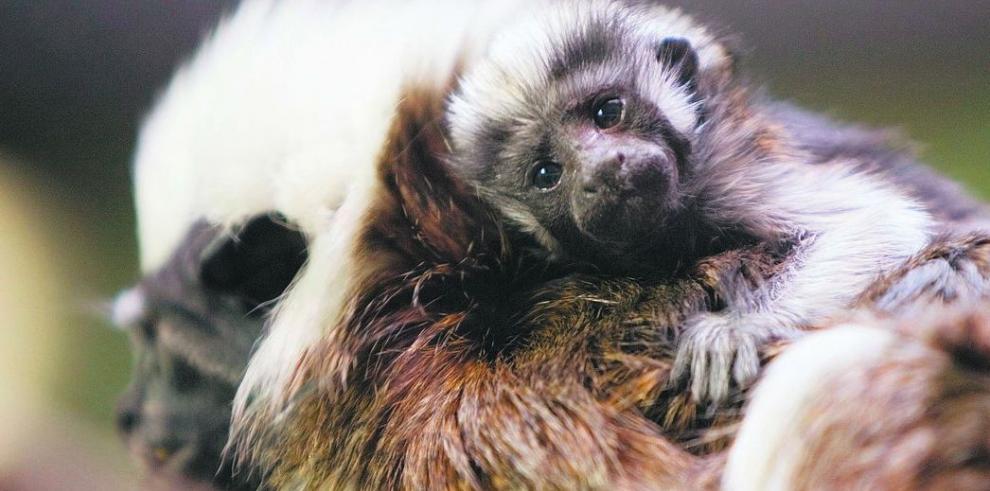 Celebran el día del mono Tití Cabeciblanco