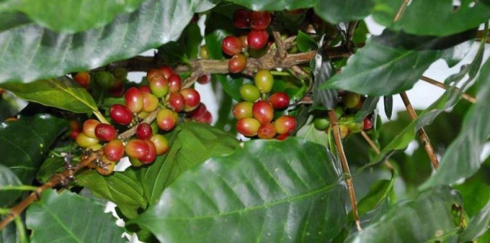Puerto Rico se une a proyecto internacional de café gratis