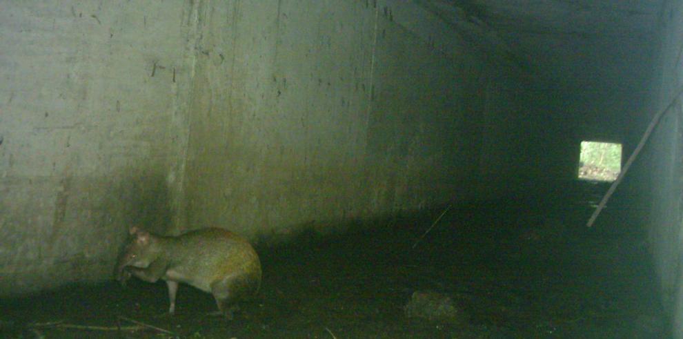 '72% de los animales utilizan las vías de paso subterráneas'