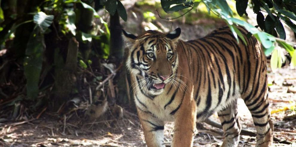 El emblemático tigre de Malasia se encuentra en peligro crítico de extinción