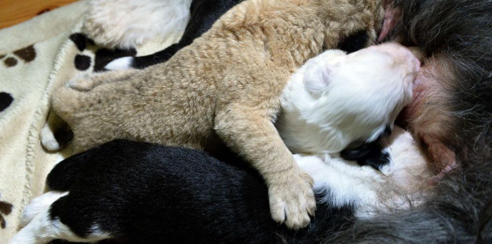 León abandonado es amamantado por perra en zoológico de Polonia