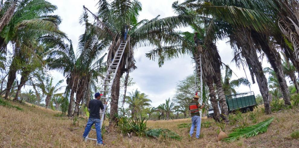 Los mil usos de la palma real: Desde planta decorativa hasta alimenticia