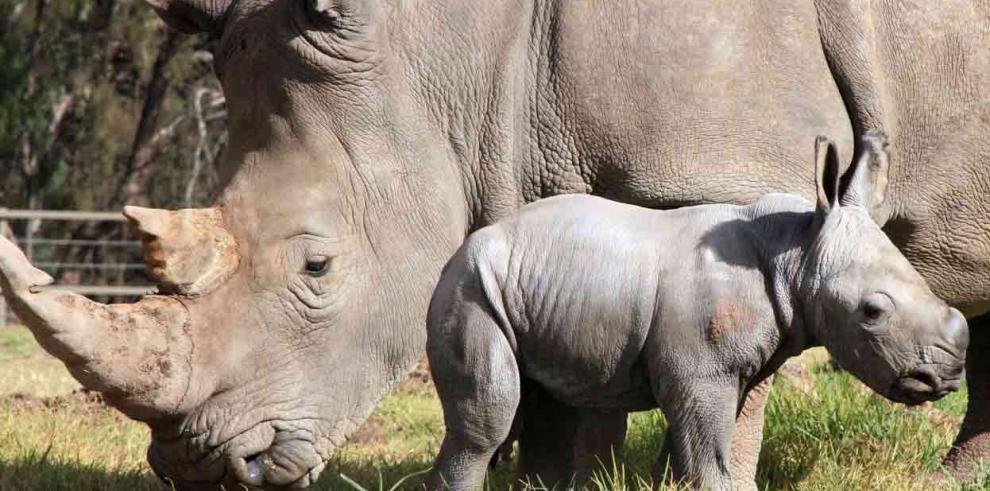 Rinoceronte blanco: seis ejemplares en el mundo al borde de la extinción