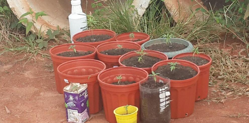 Plantaba marihuana en el patio de su casa en Arraiján