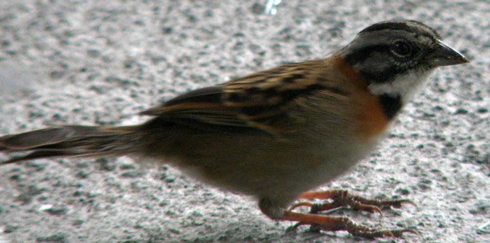 Científicos, en alerta por declive de aves comunes