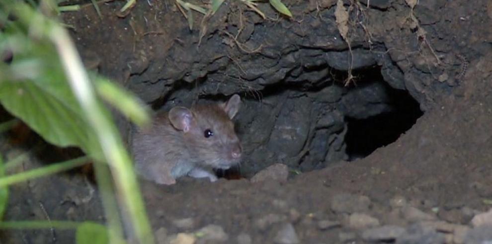 Reactivan operativos para eliminar las ratas en San Miguelito
