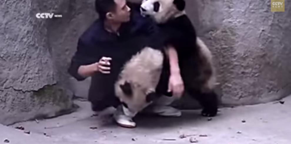 Pandas juegan para no tomarse su medicina