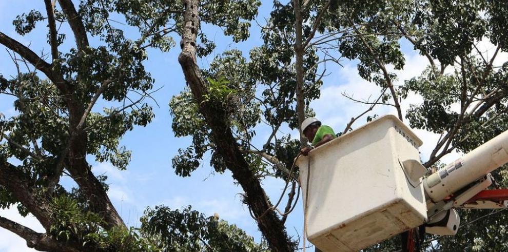 Alcaldía poda otros 10 árboles de la ciudad
