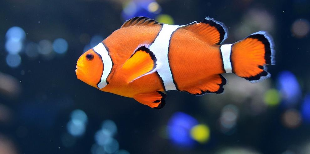 Peces payaso como Nemo nadan enormes distancias cuando son bebés