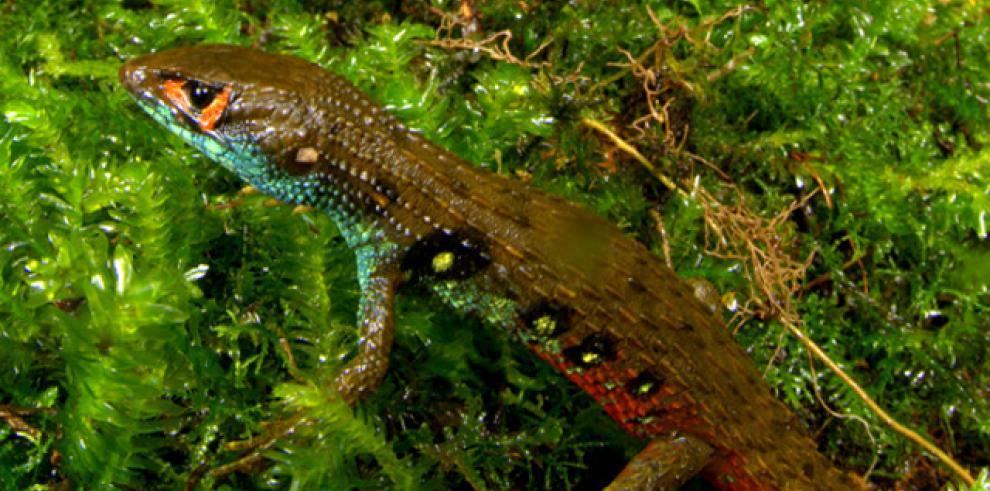 Nueva especie de lagartija descubierta en Perú