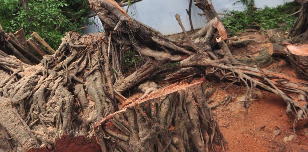 Árbol se desploma en el parque Andrés Bello en Vía Argentina