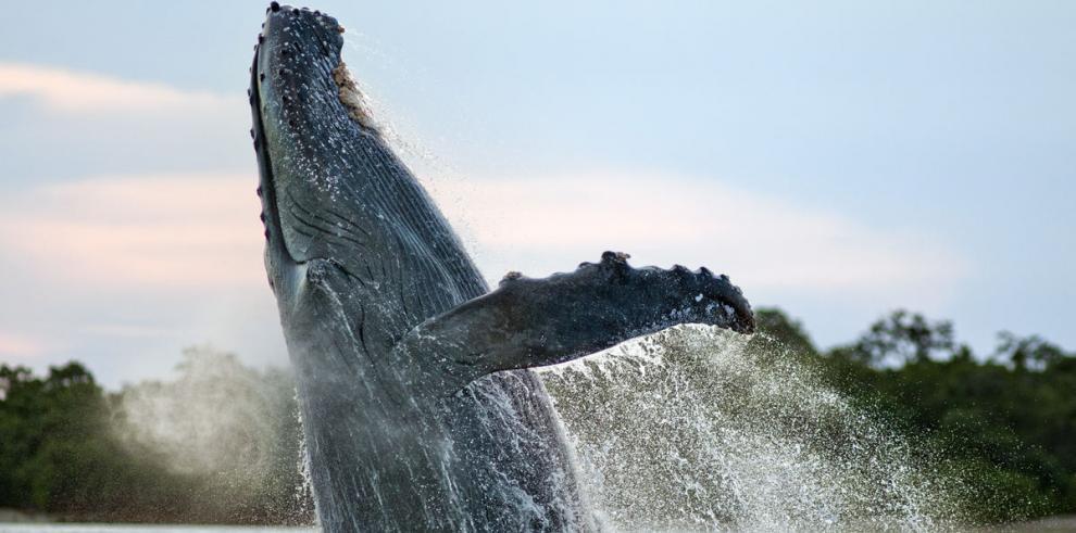 Las ballenas prefieren Panamá como punto de encuentro