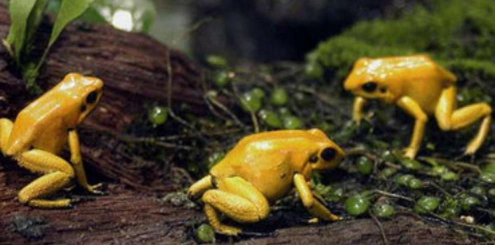 Encuentran una nueva especie de rana en los bosques de Panamá