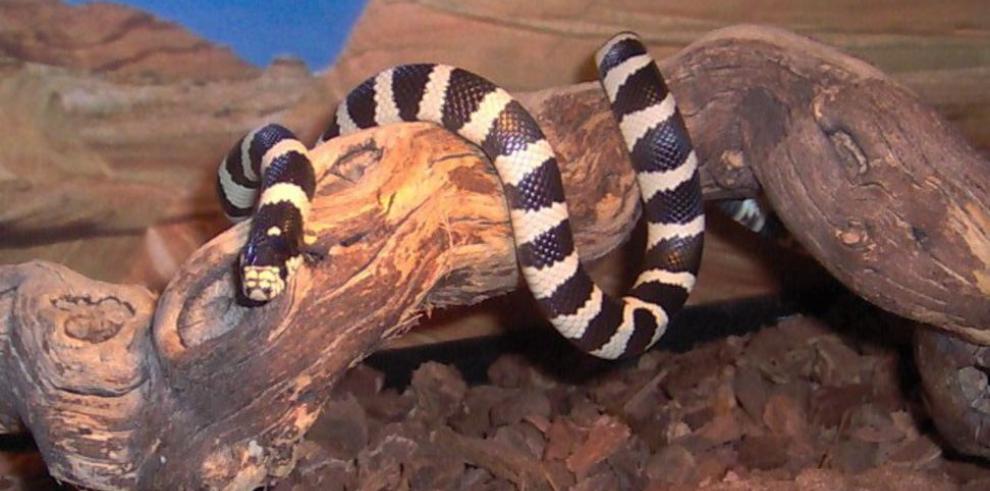 En Islas Canarias luchan contra invasión de serpientes